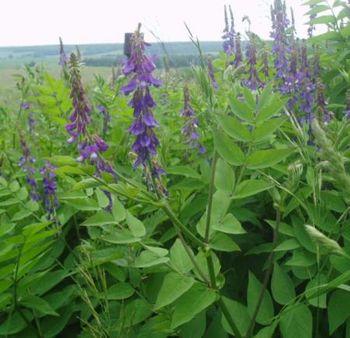 растение галега