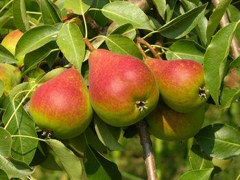 фрукты и диабет