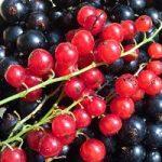 Красная и черная смородина в рационе диабетика