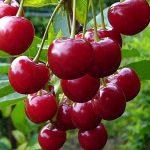 Польза и вред вишни для диабетика